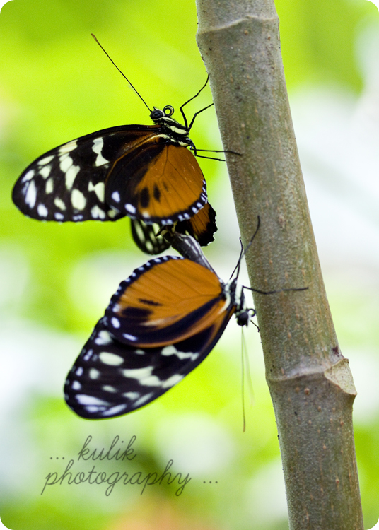 Costa Rica | Macro Photography | Butterfly | Kulik Photography | SW Florida Photography