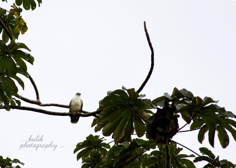 White Hawk | Costa Rica | Kulik Photography