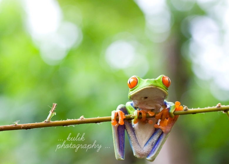 Red Eyed Tree Frog | Costa Rica | Kulik Photography