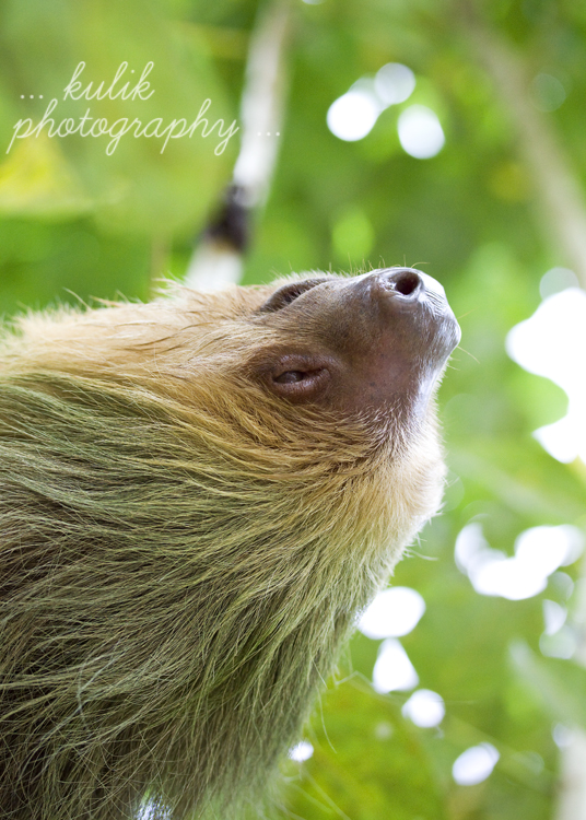 Costa Rica | Two Toed Sloth | Kulik Photography